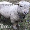 Blanche, dob 03/31/2017, Codon RR Flock of origin: Moyers in PA.    OEBR 17792, NABSSAR- TBD.  Bred to Noir.